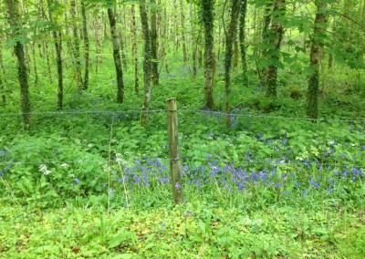 Bluebells in Dunkerron