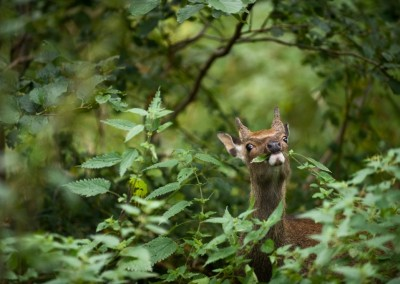 Sika Deer in Dunkerron